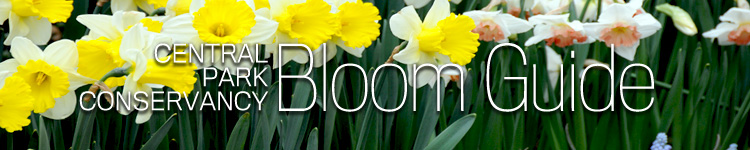 Central Park Conservancy Bloom Guide