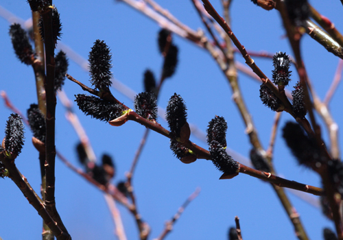 black pussy willows Salix gracilistyla 'Melanostachys' - Black Pussy Willow.