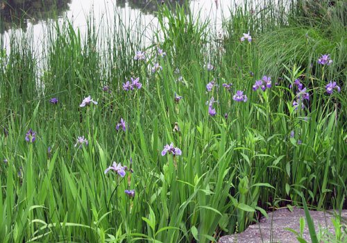 blooms blue flag iris