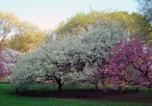 blooms crabapple