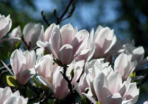 blooms magnolia saucer