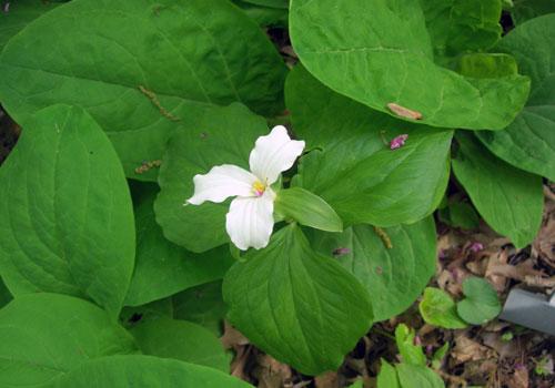 blooms trillium