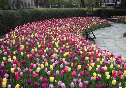 Blooms Tulips
