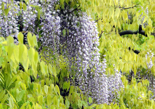 blooms wisteria