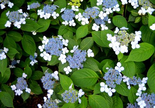 blue_lacecap_hydrangea_m_l.jpg