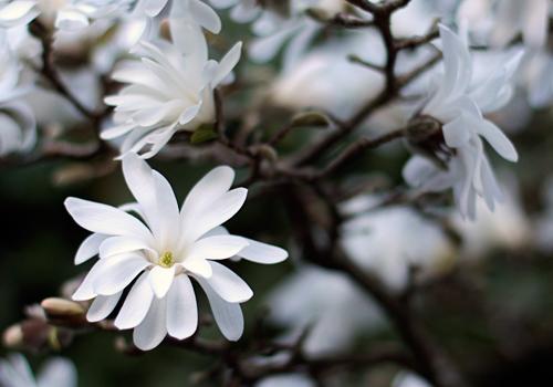 star_magnolia_c_l.jpg