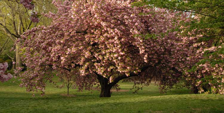 Kwanzan cherry tree in spring