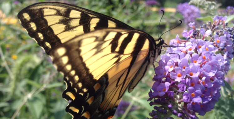 Beau Butterfly With Purple Flowers