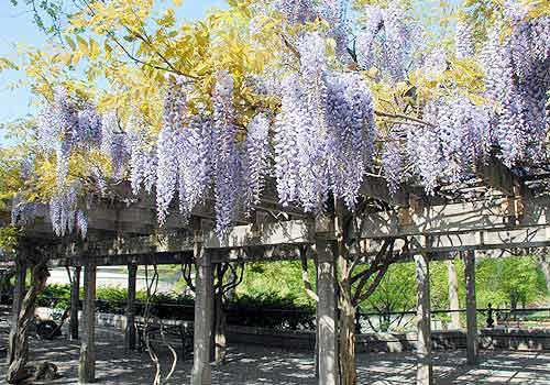 wisteria pergola