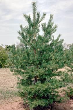 austrian pine main