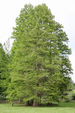 common baldcypress main
