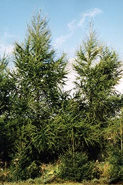 european larch main