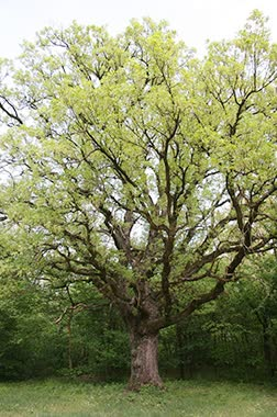 european turkley oak main