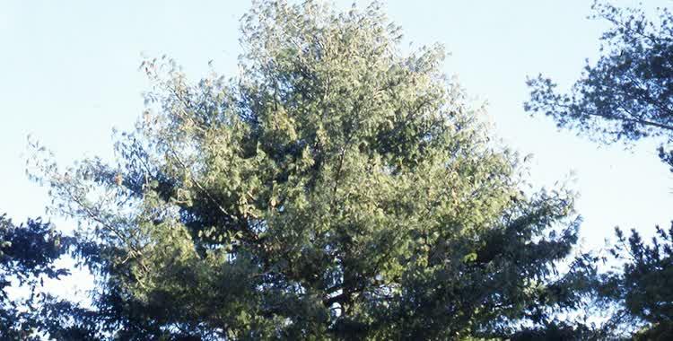 himalayan pine main