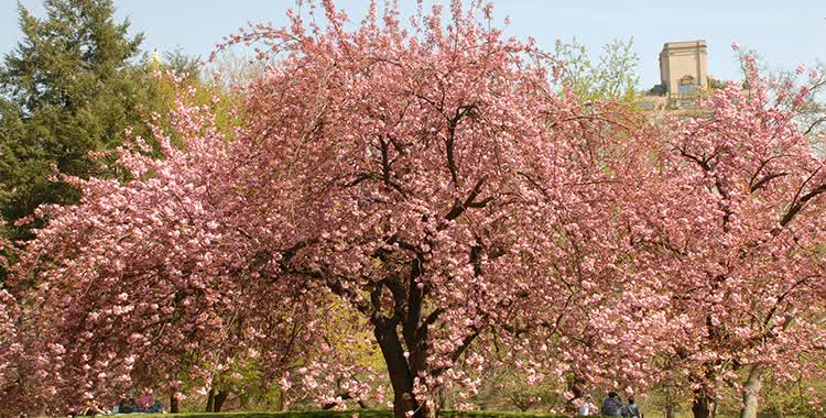 Tree guide the official website of central park nyc kwanzan flowering cherry mightylinksfo