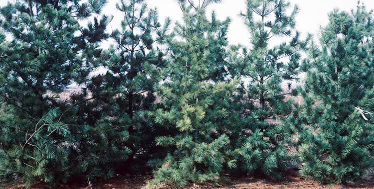 limber pine main