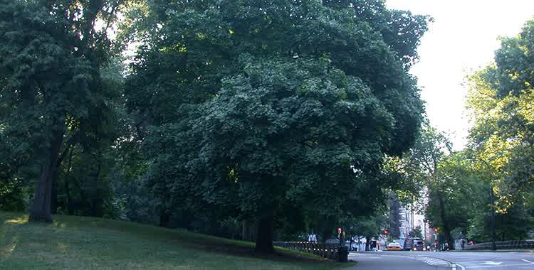 norway maple main