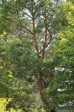 scotch pine main