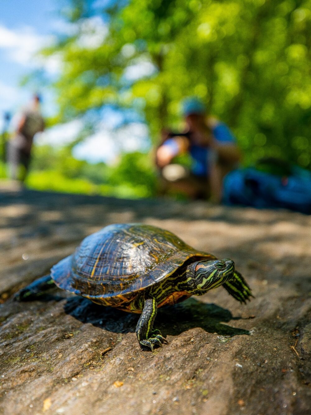 A turtle plods along a rock with a summer day in a soft-focused background