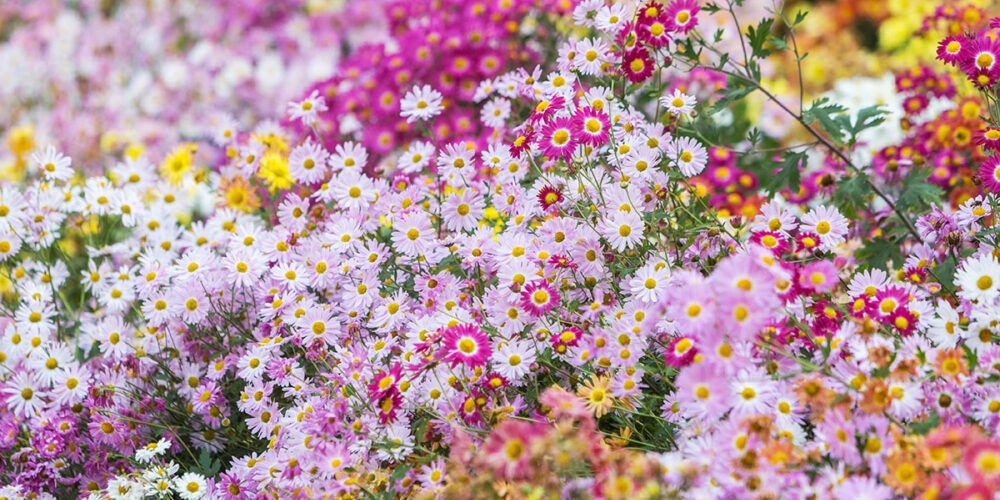 Myriad shades of pink, purple, and yellow crowd this photo of blooms