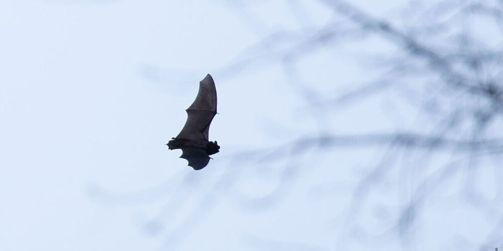 A bat in flight in Central Park