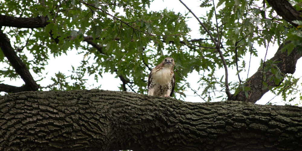 A hawk is alert to its prey as it perches on a tall branch
