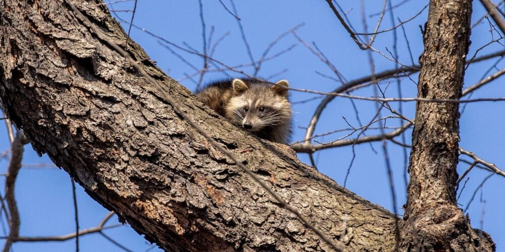 A raccoon peers down from a high, leafless branch.