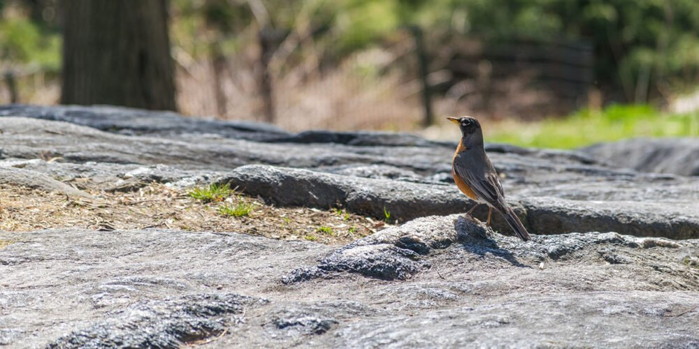 A robin photographed on a rock outcropping