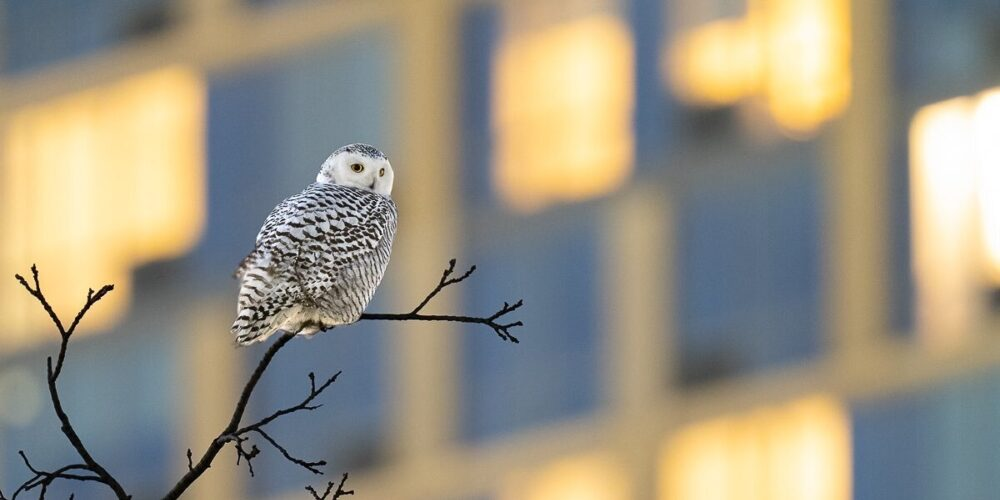 The owl is seen perched on the far end of a branch with the blurred image of large building in the background.