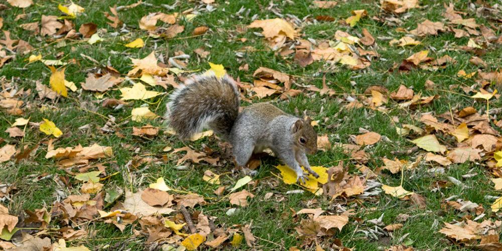 Squirrel Central Park