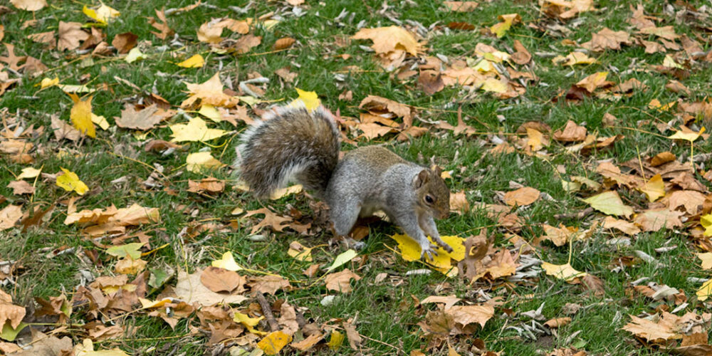 A squirrel surrounded by fallen leaves
