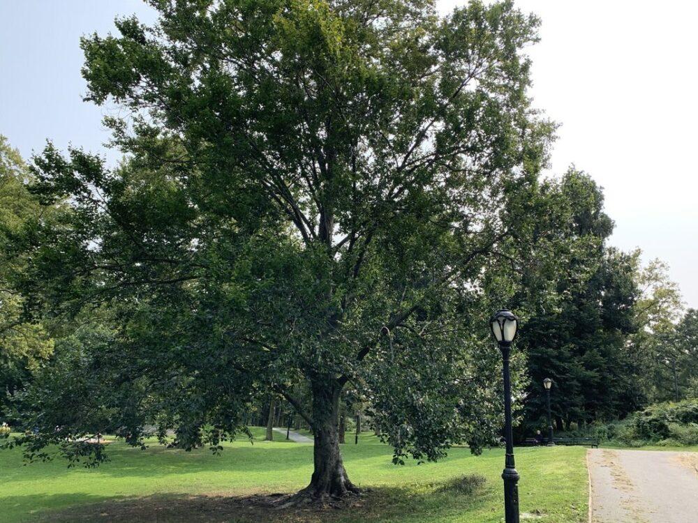A full view of a european beech