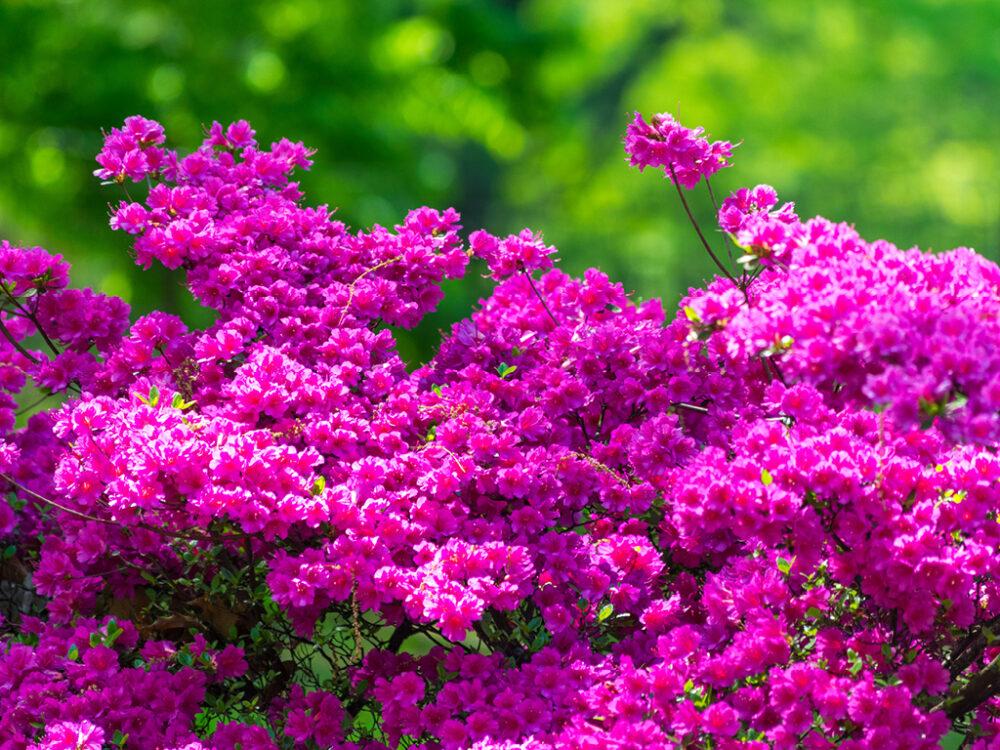 The hot pink blossoms of an azalea bush