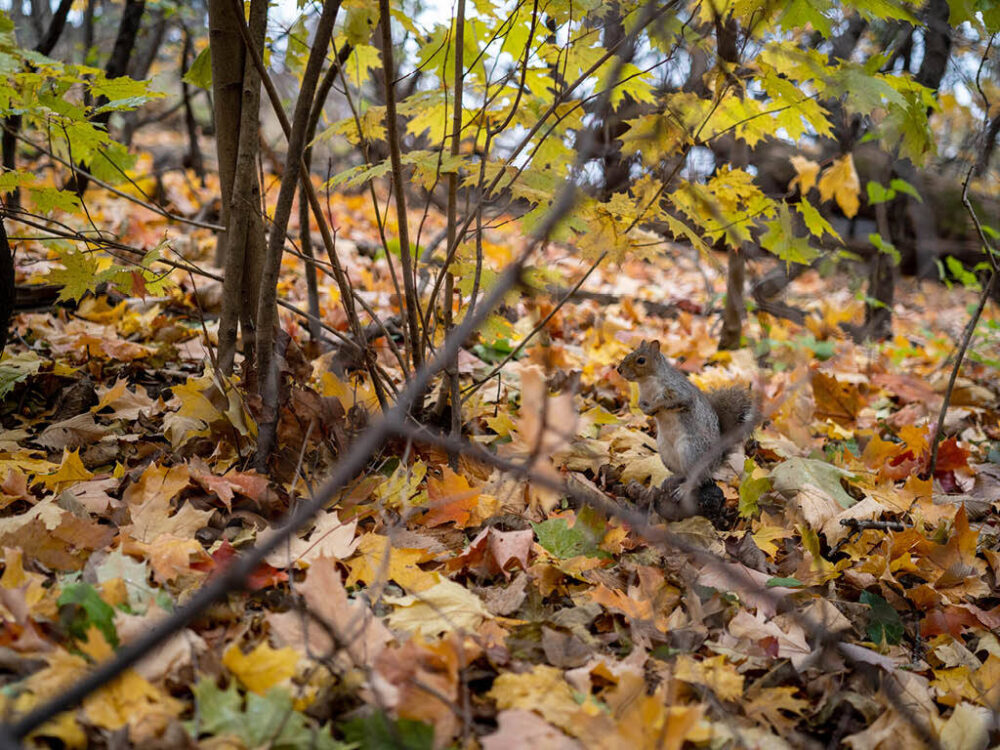 Autumn leaves that blanket the Sanctuary serve as a backdrop to a squirrel on the alert