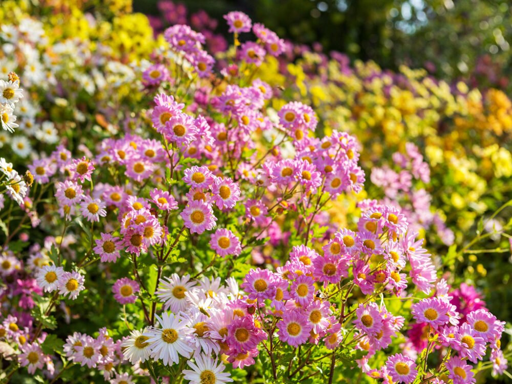 A field of colorful mums with a soft-focus background