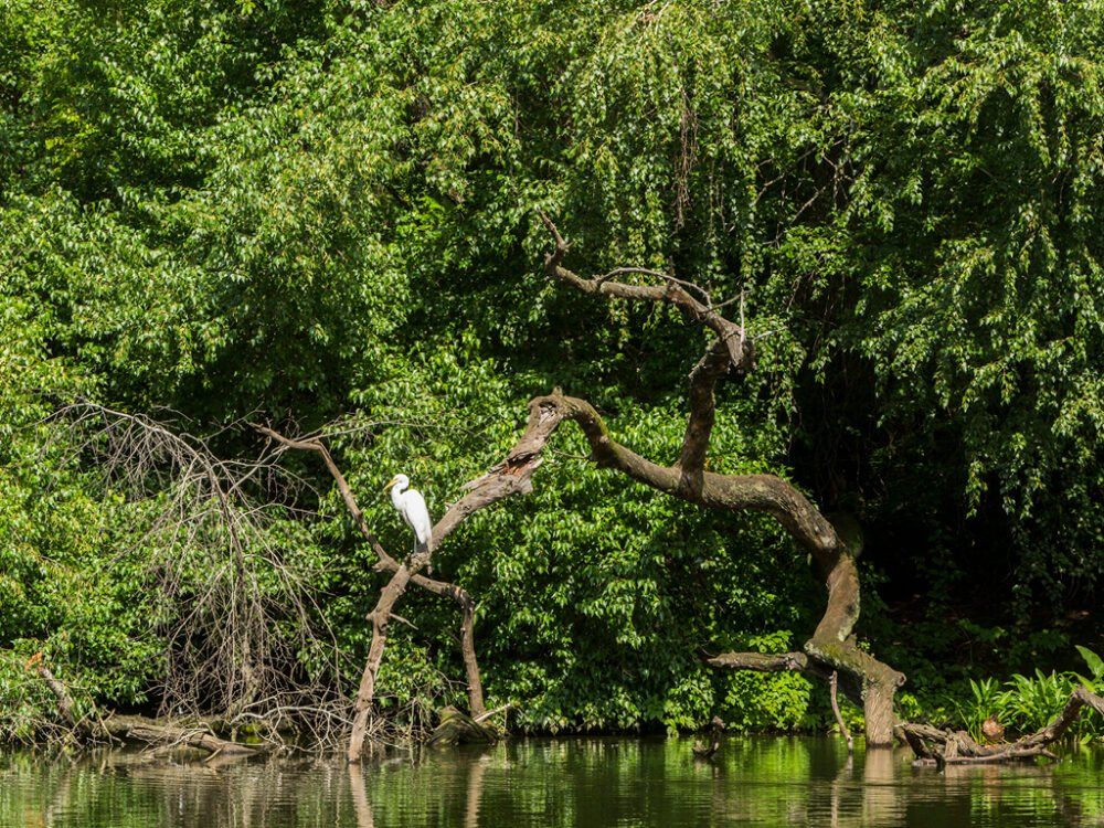 A solitary crane perched on a bent bough, reflected in the Pond