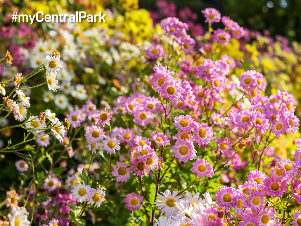 A colorful bed of mums shot with a soft-focus background