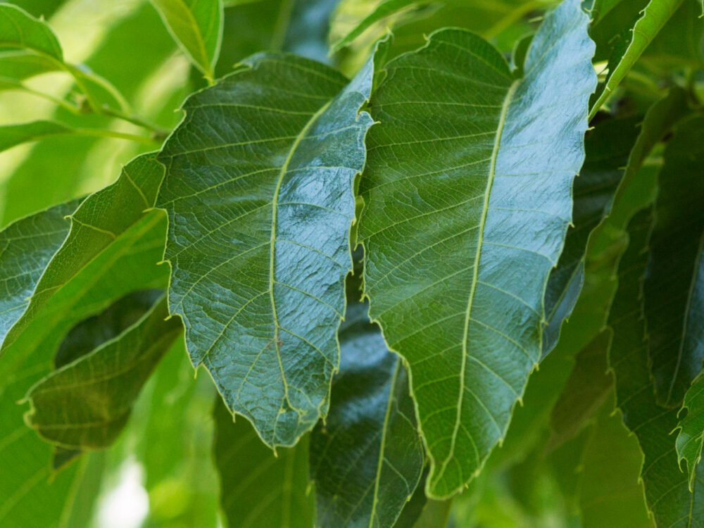 Sawtooth Oak, showing leaves with serrated edges