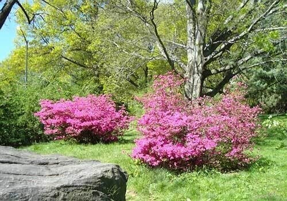 Pink azalea bushes against the green of lawn and trees