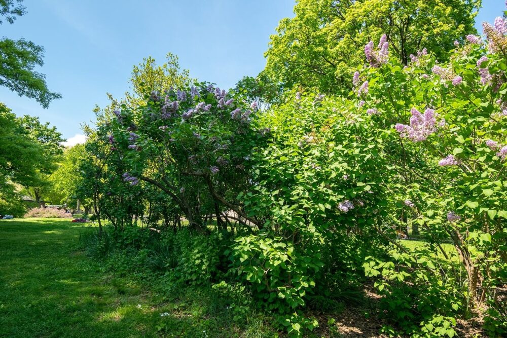 A view of blooming lilac trees