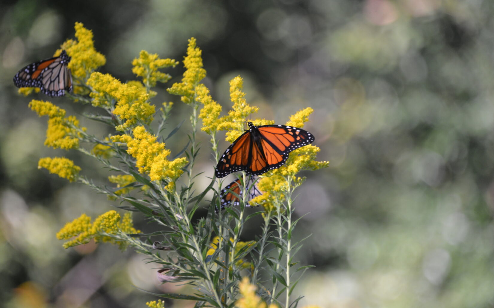 A monarch butterfly photographed in Central Park