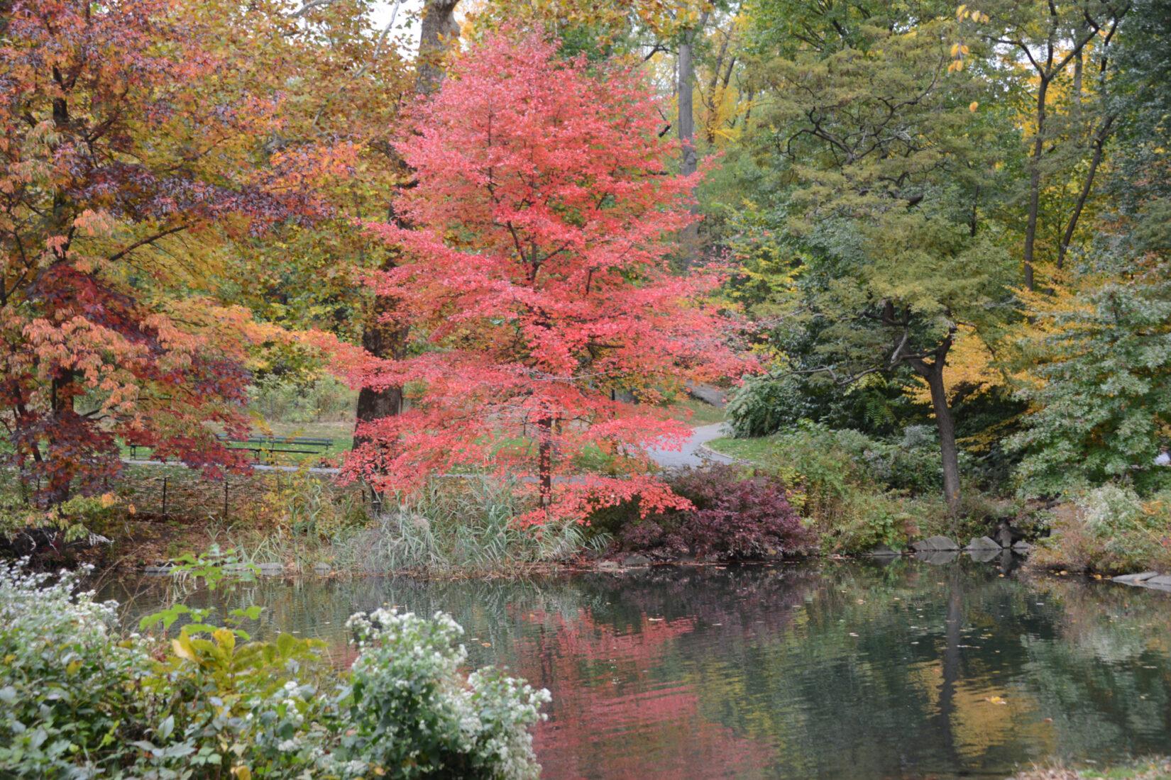 A tupelo tree ablaze in full fall color