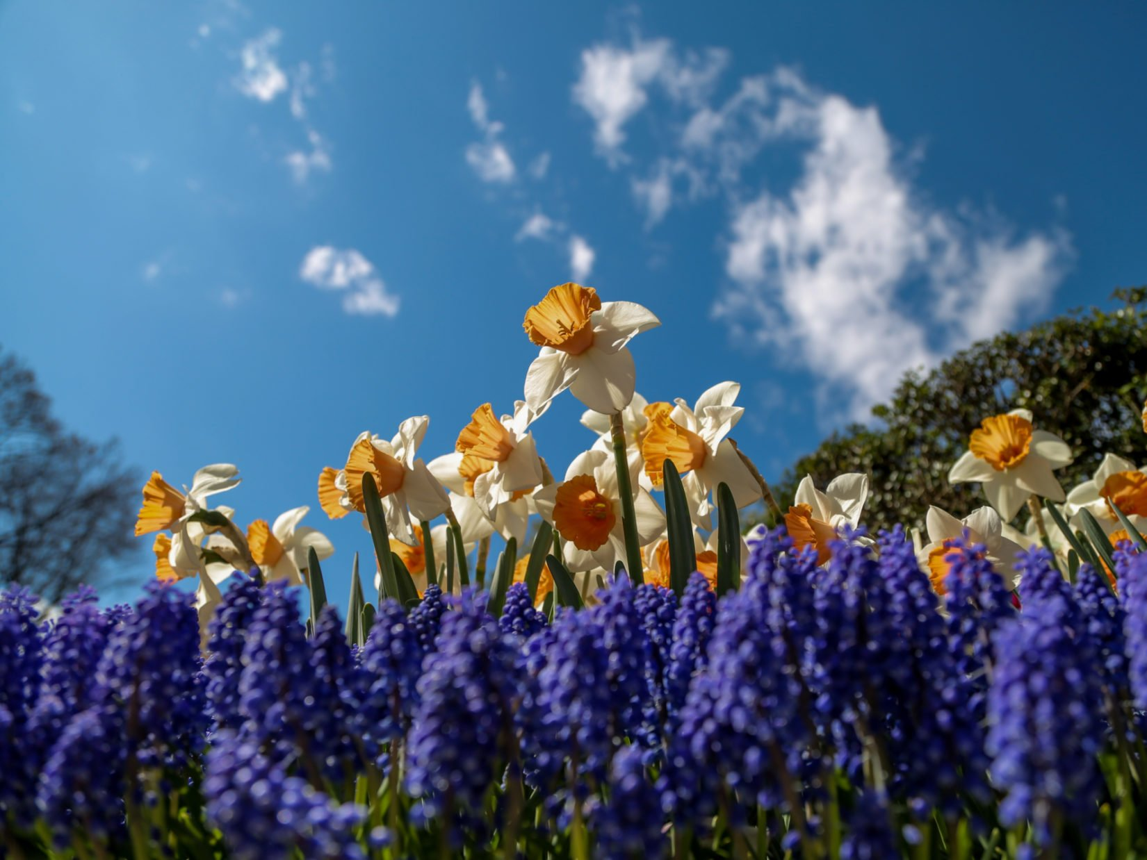 Daffodils and grape hyacinth under a beautiful spring sky
