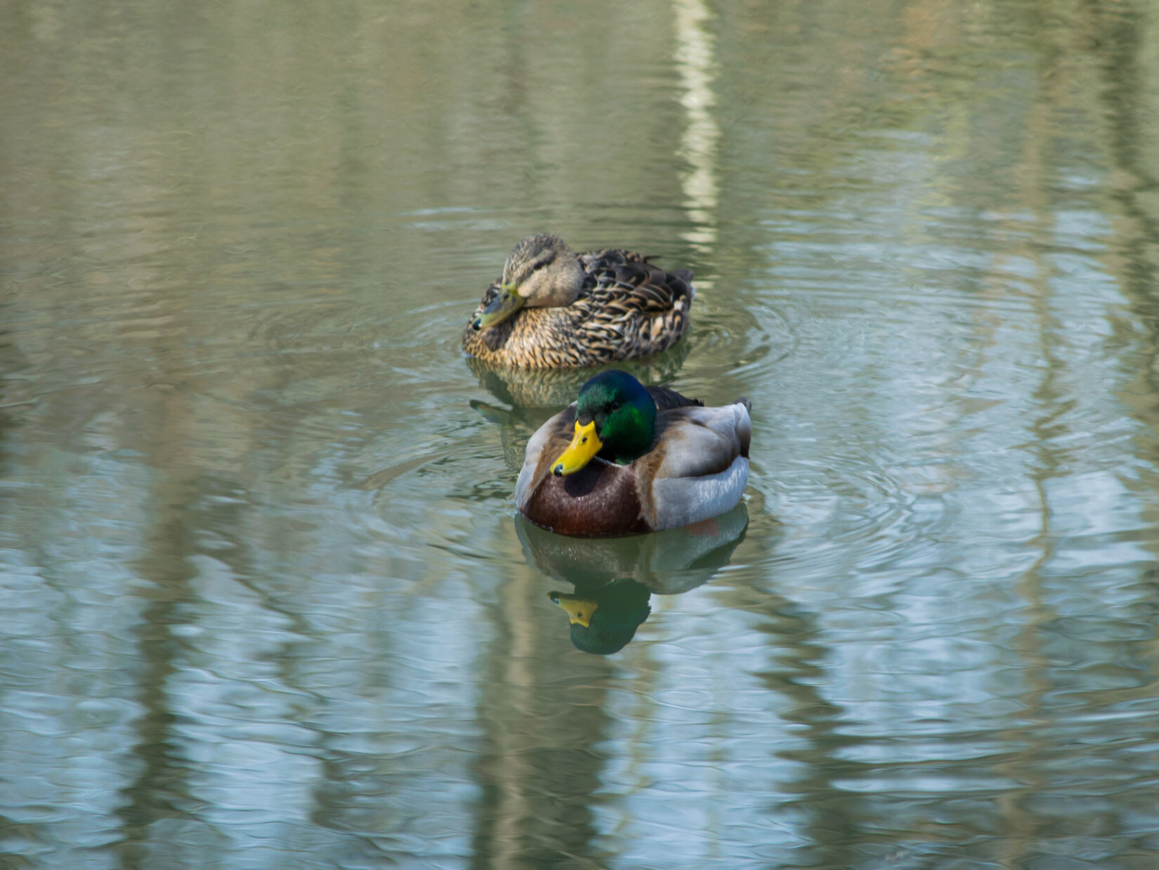 Two ducks looking serene on the still surface of the water
