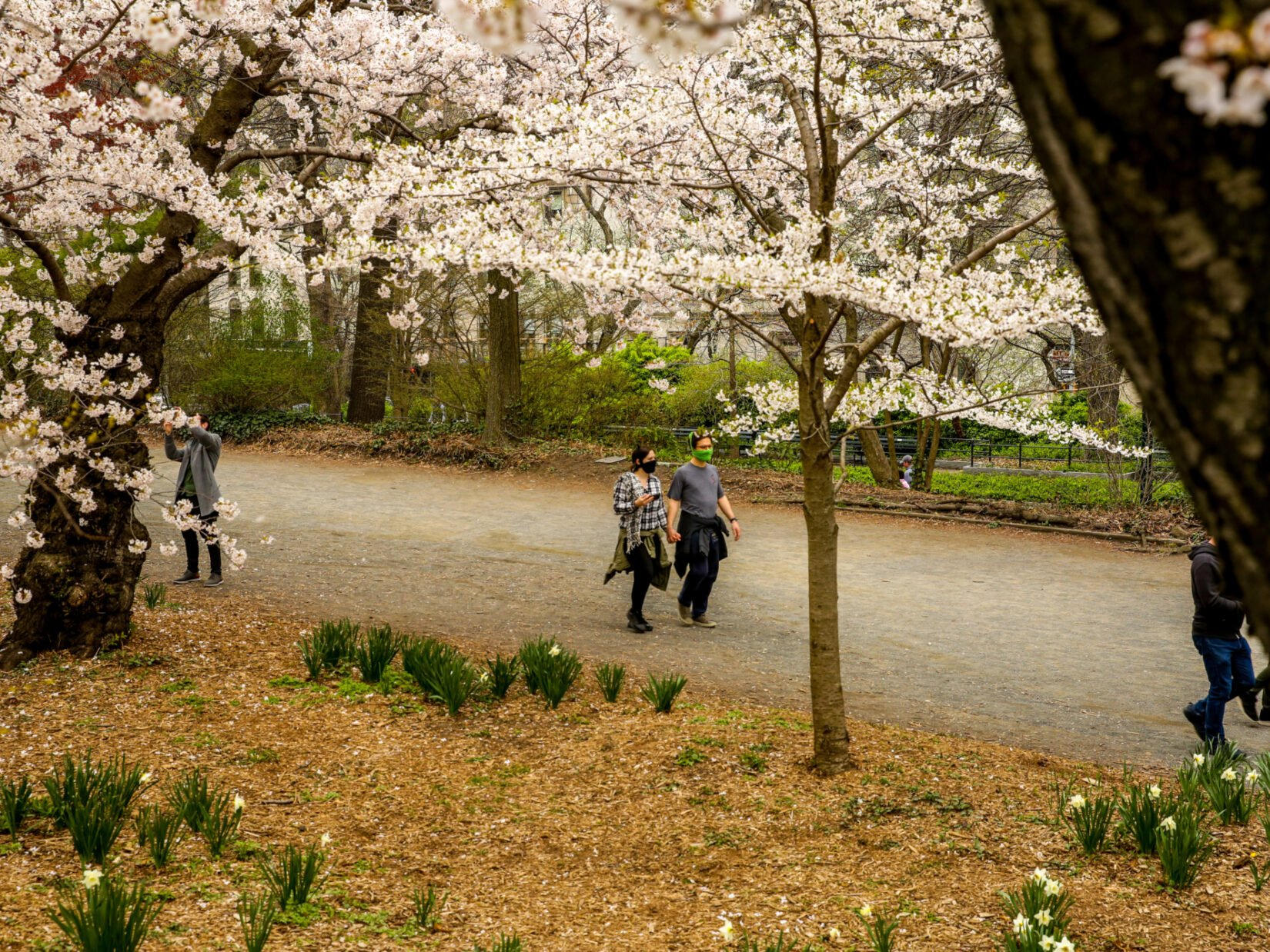 A masked couple stroll beneath a canopy of cherry blossoms