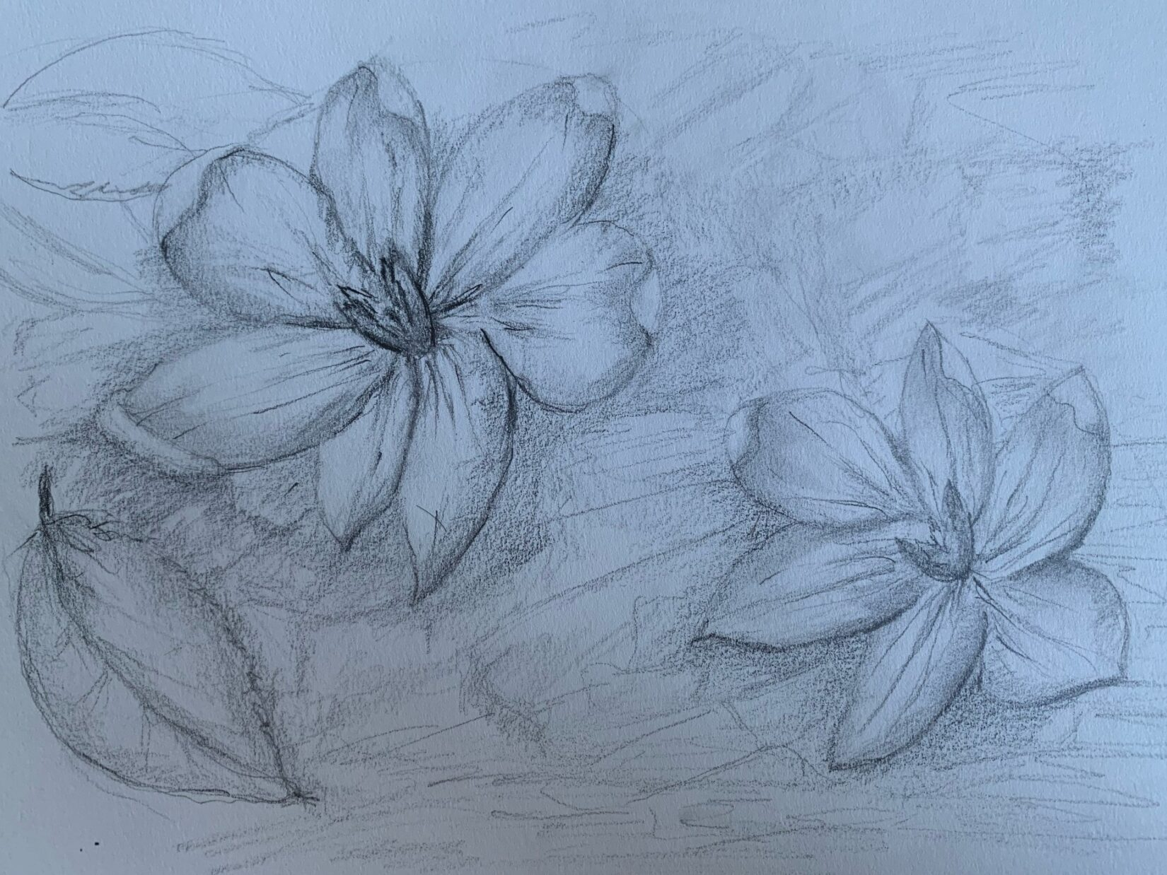 Pencil drawing of the (alleged) first flower of spring.