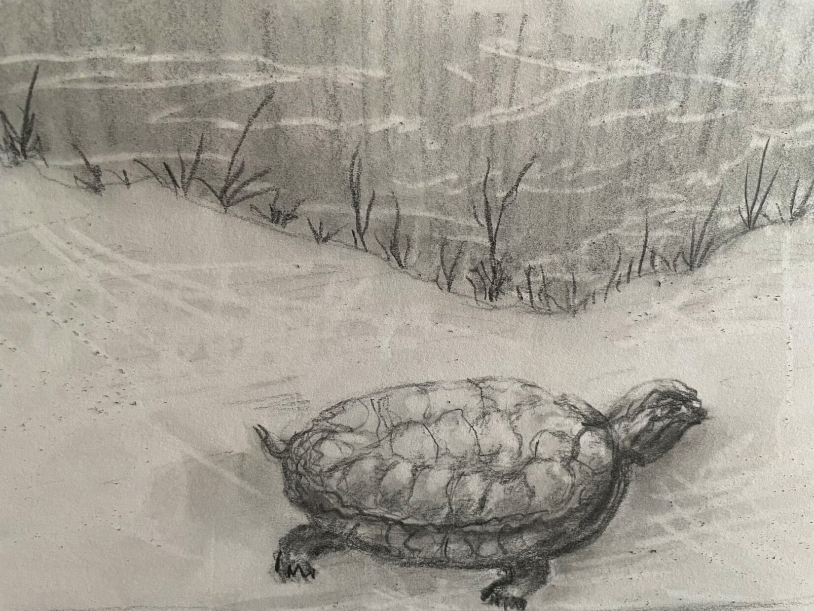 A pencil drawing of a turtle