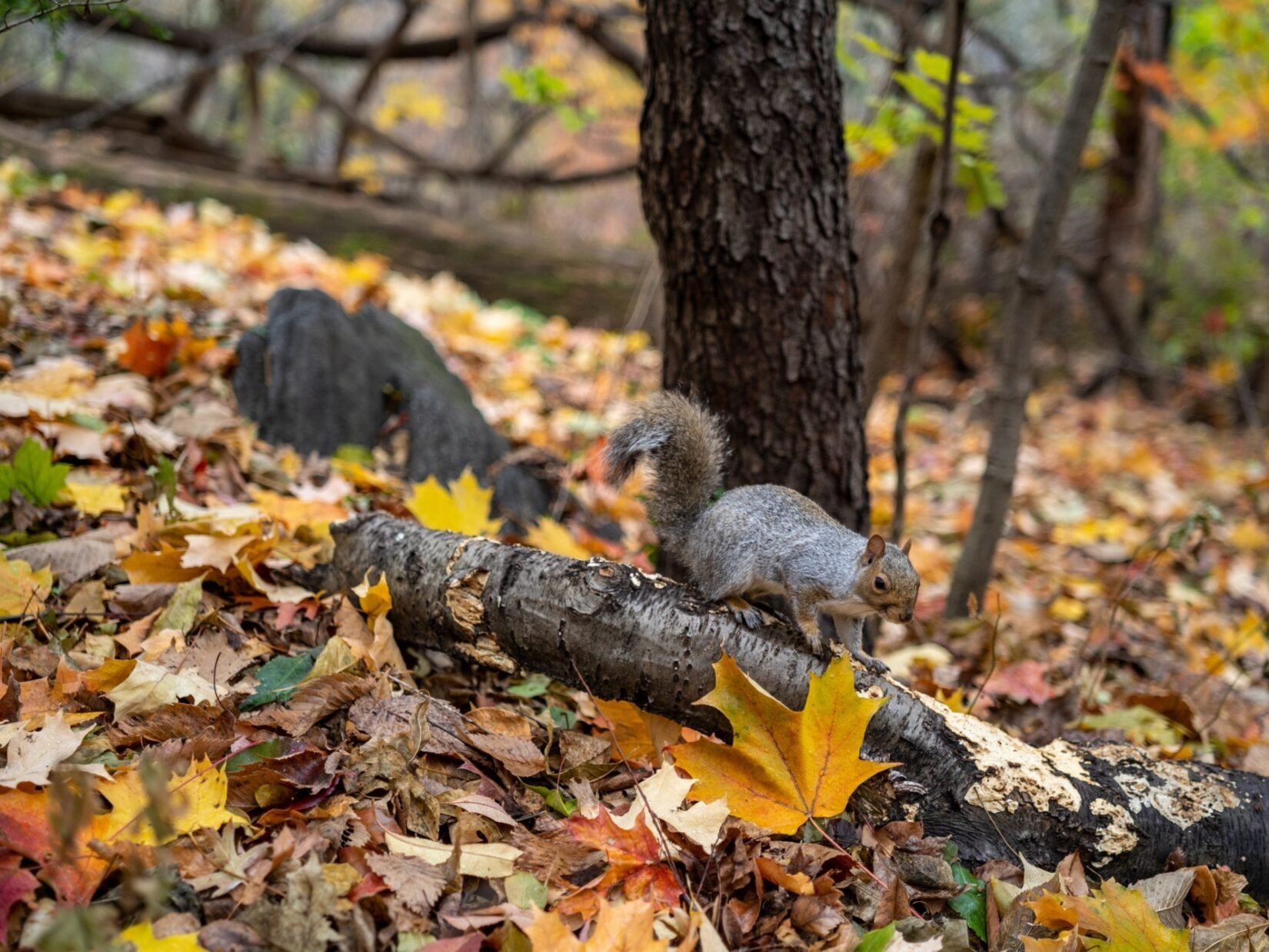 A squirrel gambols on a fallen branch on the leaf-strewn floor of the Hallett Nature Sanctuary