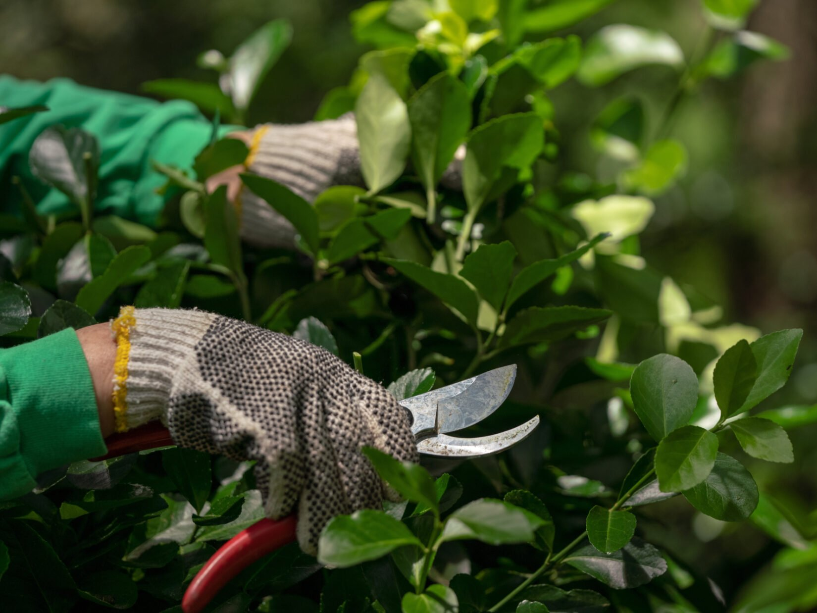 A close-up shot of the gloved hands of a Conservancy gardener caught in the act of pruning