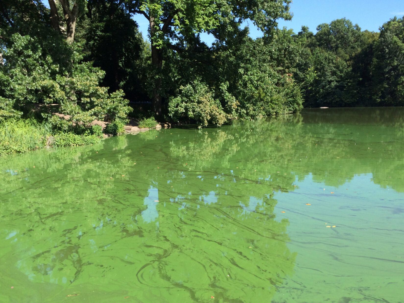 Harmful Algal Blooms in Central Park